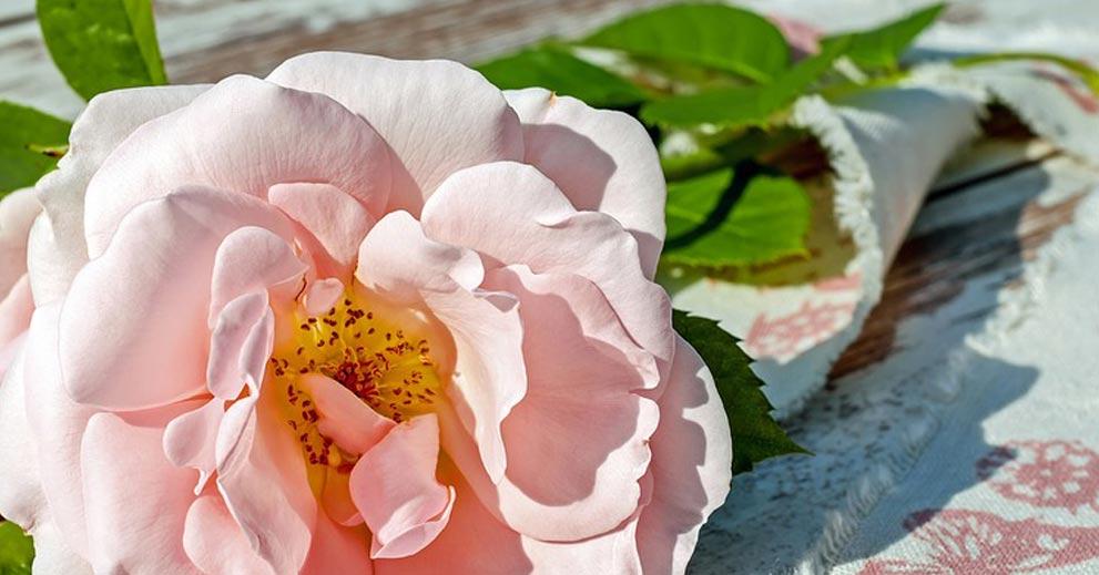 5 tips menjaga bunga mawar supaya tahan lama